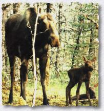 Moose with Twins